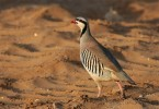 Family Gamebirds, Chukar/Alectoris chukar